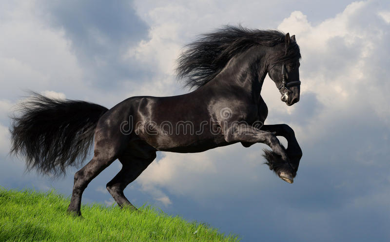 Friesian paardgalop royalty-vrije stock foto's