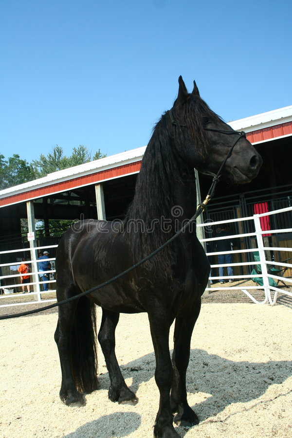 Friesian Sport horse 2 stock photos