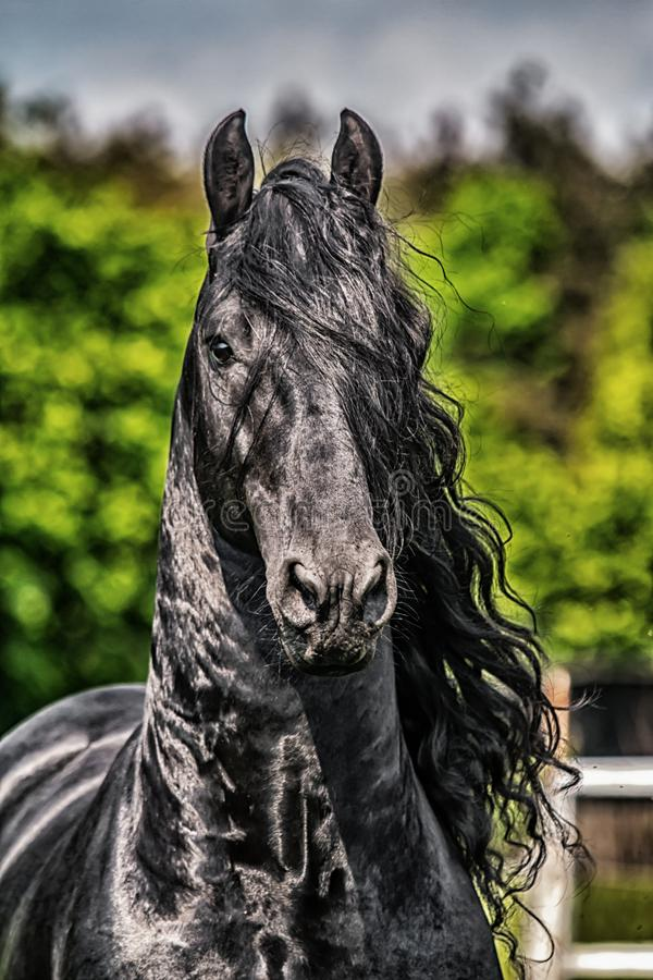 Friesian stallion gallops stock photos