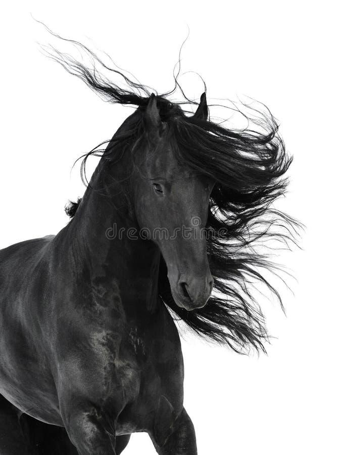 Friesian zwart die paard op het wit wordt geïsoleerd stock foto's