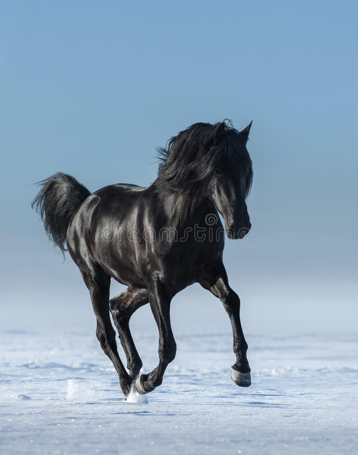 Frigör den svarta hästen i fältet i vintern royaltyfria bilder