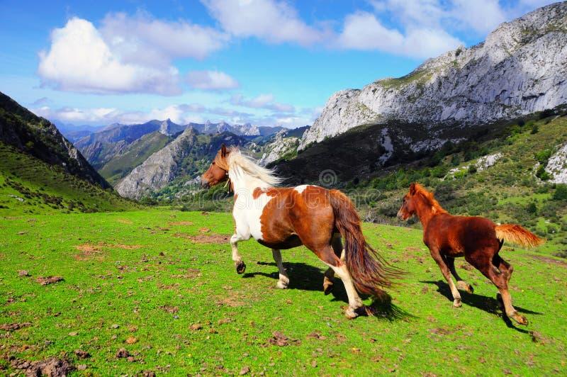 frigör hästar som kör två royaltyfria foton