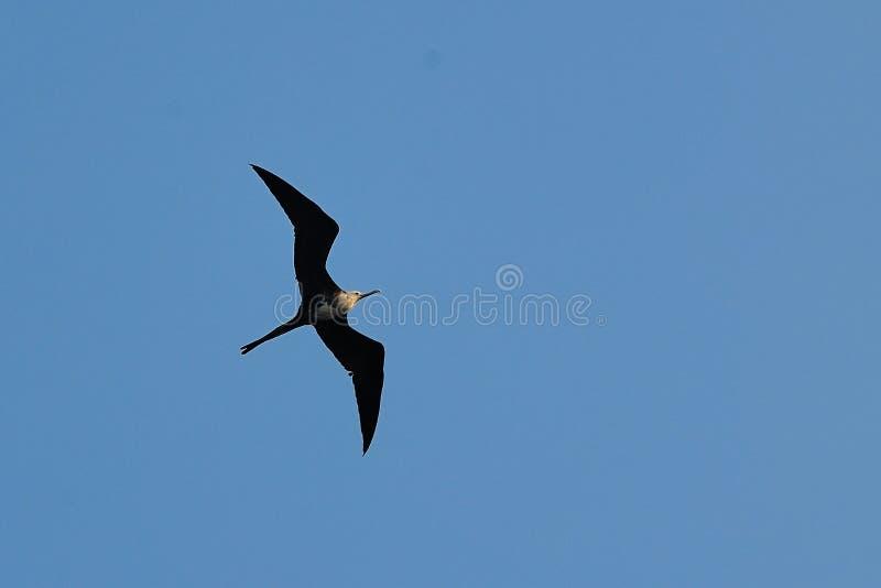 Download A Frigate Bird stock photo. Image of seabird, beak, large - 23792294