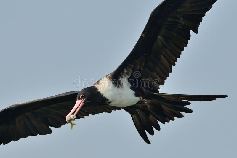 Download Frigate Bird Capture A Fish Stock Image - Image: 26866449