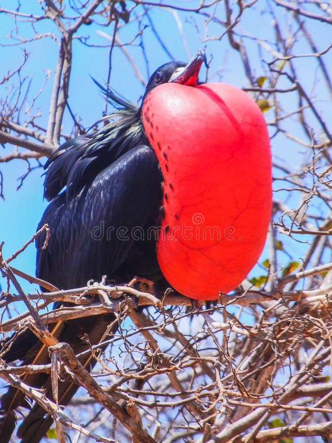 Frigate bird with inflated red pouch on galapagos island royalty free stock image