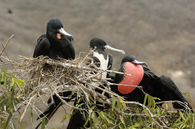 Download Frigate Birds stock image. Image of feathers, feather - 17310103