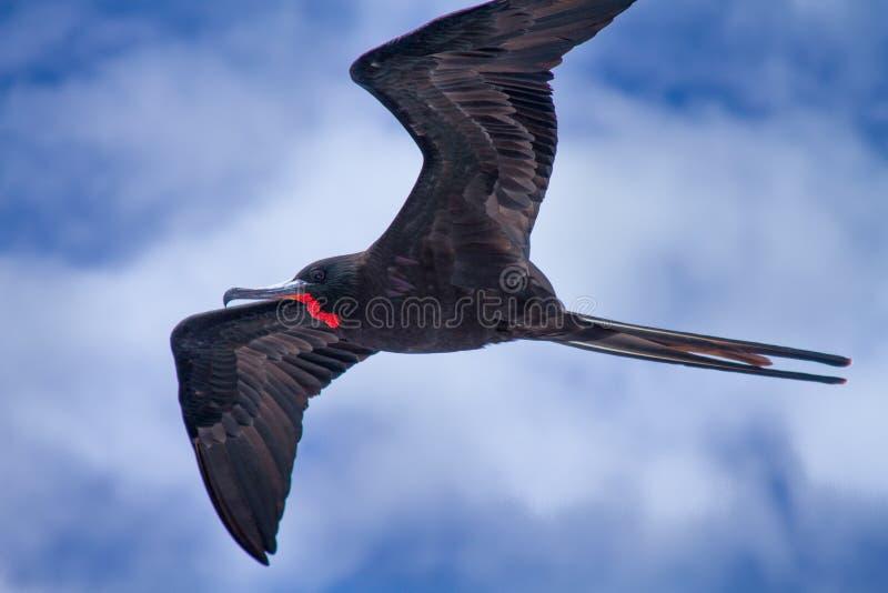 frigate galapagos royaltyfri bild