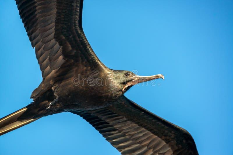 Frigatebird特写镜头 库存照片