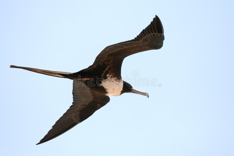 Frigatebird fotos de archivo libres de regalías