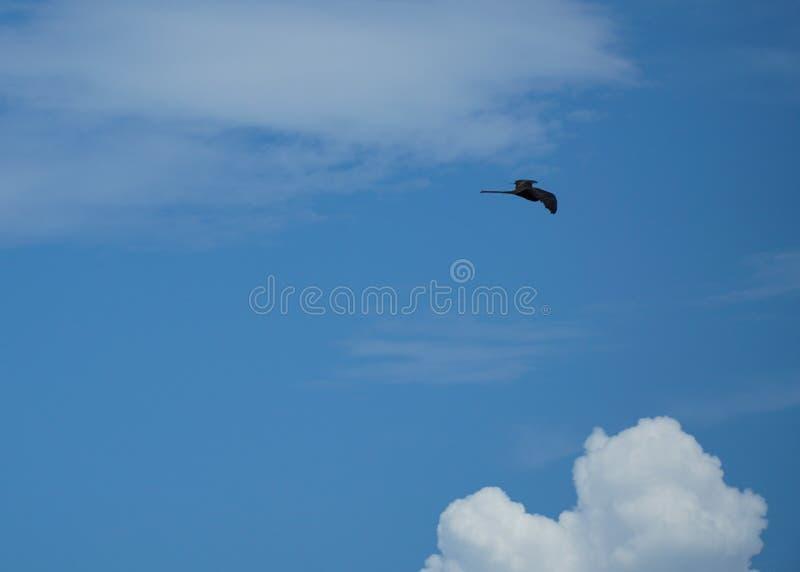 Frigatebird, das hoch im Himmel gleitet lizenzfreies stockfoto