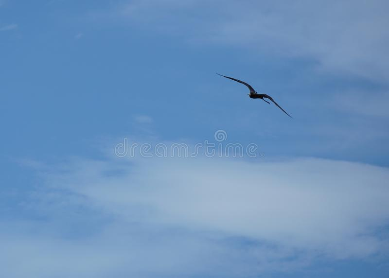 Frigatebird, das hoch im Himmel gleitet lizenzfreies stockbild