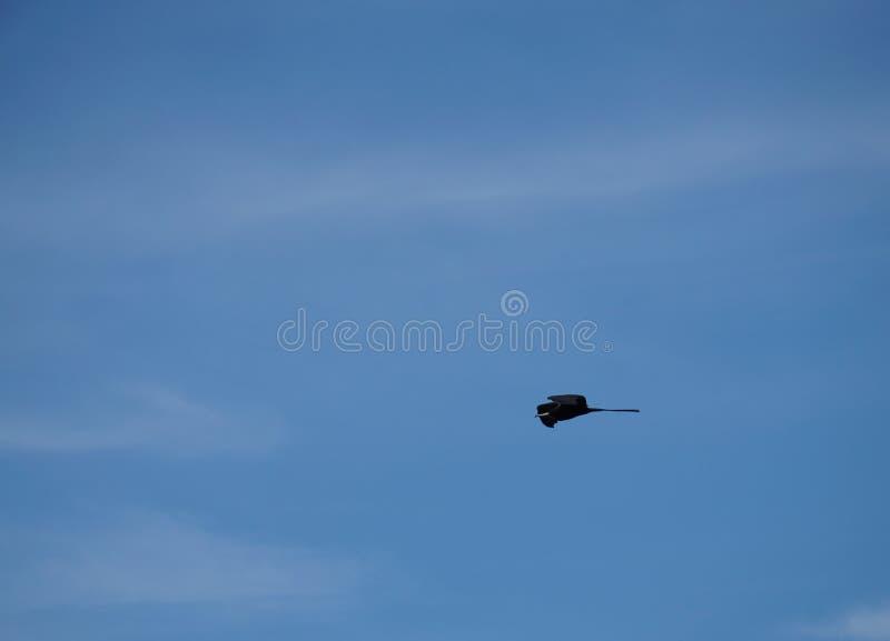 Frigatebird, das hoch im Himmel gleitet stockbilder