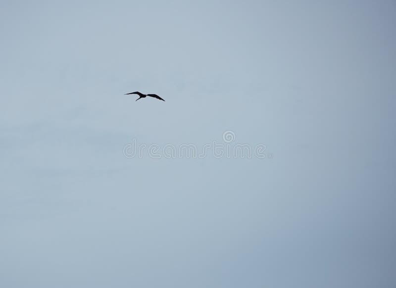 Frigatebird gliding high in the sky royalty free stock photo