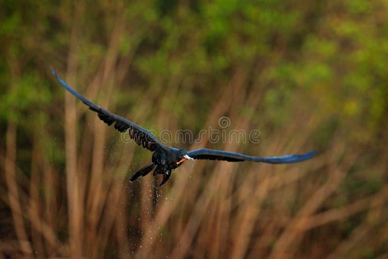 Frigatebird magn?fico, magnificens del Fregata, p?jaro de vuelo en la vegetaci?n verde Pájaro de mar tropical de la fauna de la c fotos de archivo