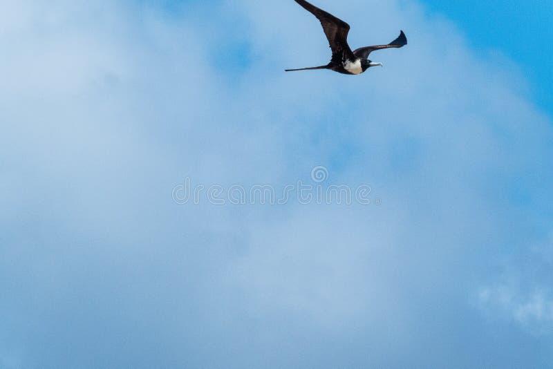 Frigatebird magnifique femelle montant sur un fond de ciel bleu photos libres de droits