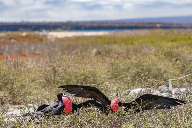 Frigatebird na Galapagos wyspach - Wspaniałego ptaka Seymour Północna wyspa zdjęcie stock