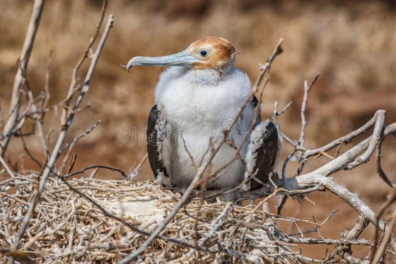 Frigatebird på Galapagos öar - storartad Fregatt-fågel norr Seymour Island fotografering för bildbyråer