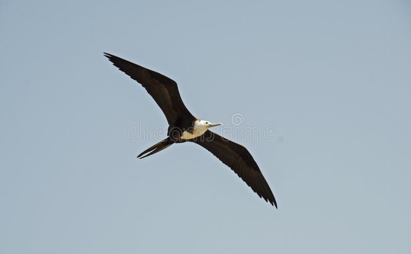 Frigatebird soaring in the sky royalty free stock image