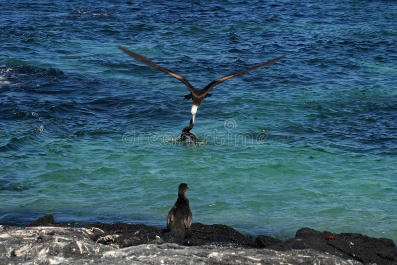 Download Frigatebird Steals Prey From Cormorant, Galapagos Stock Photo - Image: 11282638