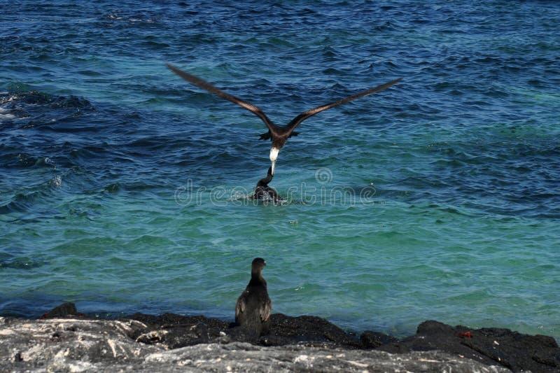 Frigatebird steelt prooi van aalscholver, de Galapagos royalty-vrije stock foto's