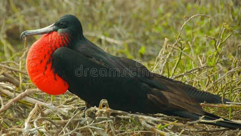 Frigatebird w Galapagos wyspach zdjęcia royalty free