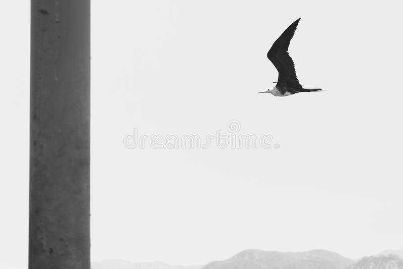 frigatebird wspaniały obraz royalty free
