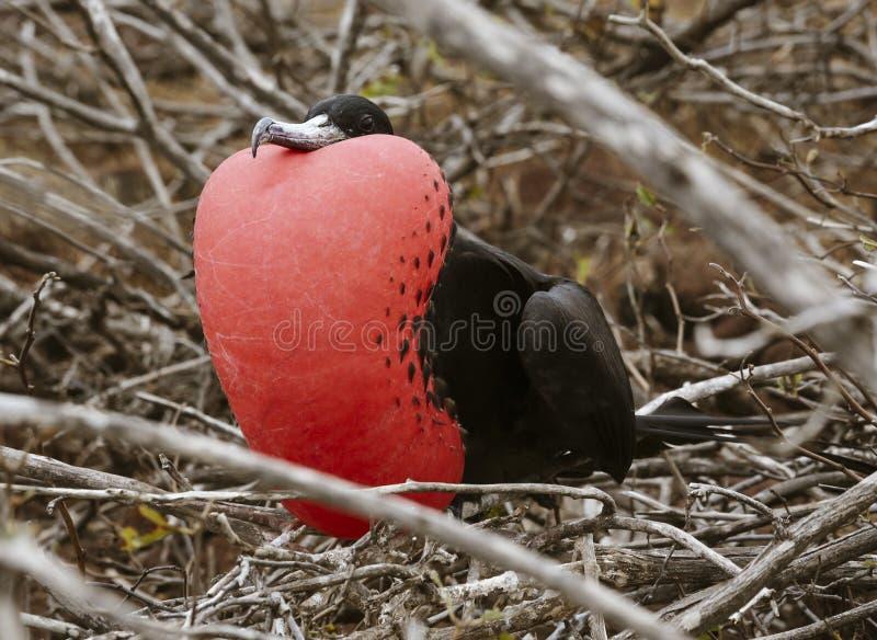 Frigatebirdmannetje in Volledige Plummage op het Eiland van de Galapagos royalty-vrije stock fotografie