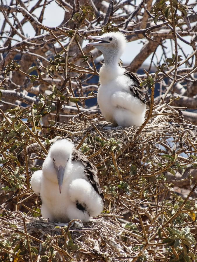 Frigatebirds novos no ec do parque nacional de Galápagos da ilha do genovesa imagens de stock