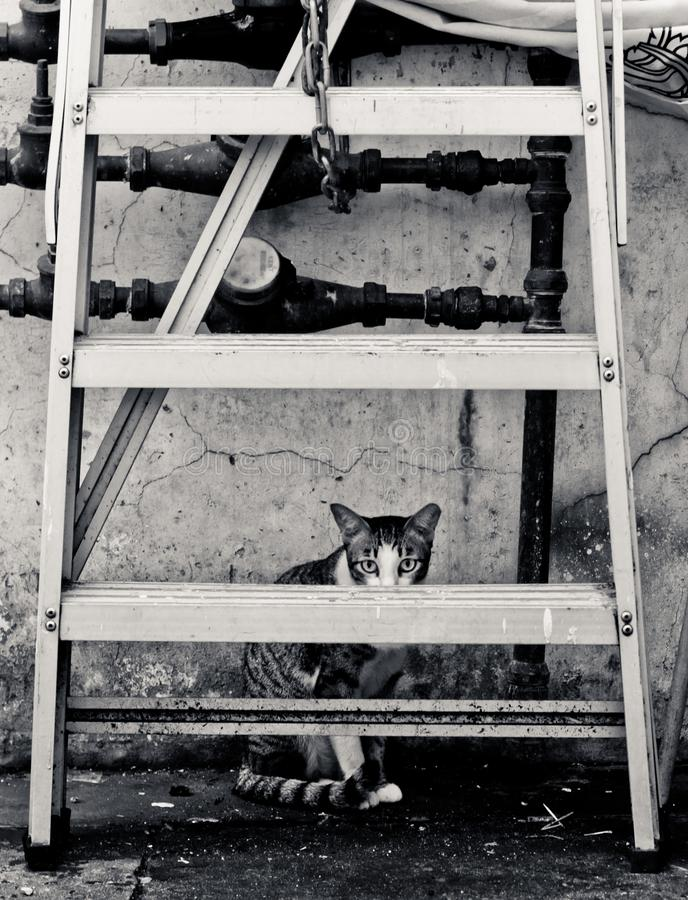 Frighten cat hiding behind a ladder. A cat hiding behind a ladder. He looks scared and sneaky royalty free stock photos