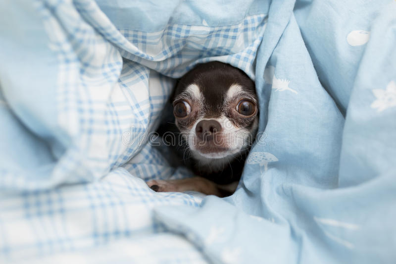 Frightened chihuahua royalty free stock photography