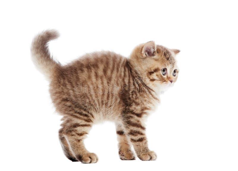 Frightened chocolate British Shorthair kitten royalty free stock images