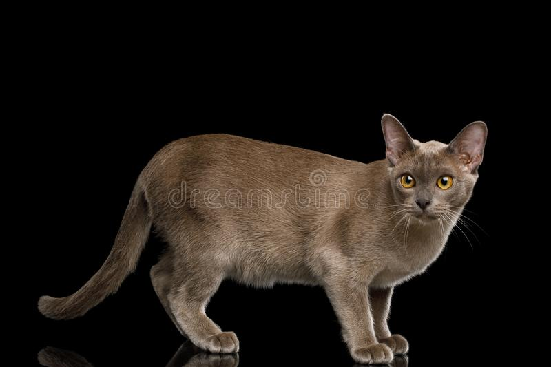 Gray burma cat isolated on black background. Frightened Gray Burma Cat Standing and Looking in Camera, isolated on black background, side view royalty free stock photo