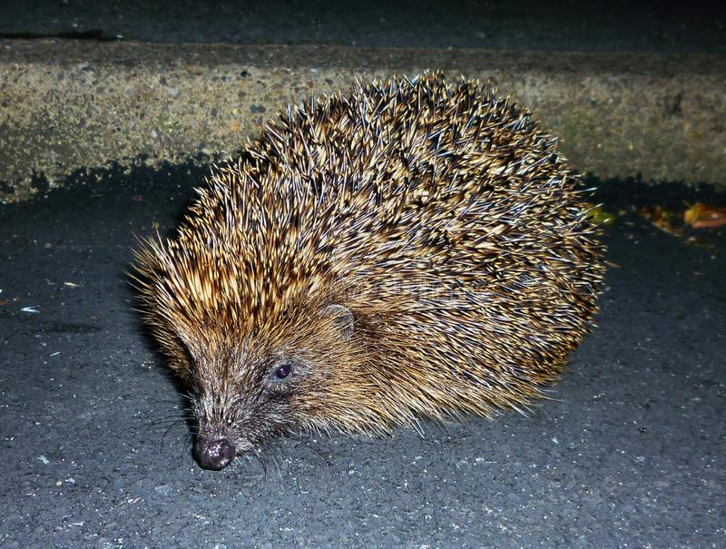 Hedgehog on road at night. Frightened hedgehog accidently discovered late at night on road over bridge stock image