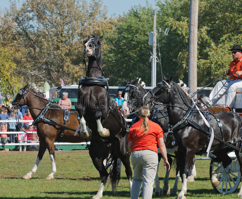 Download Rearing Horse At Country Fair Editorial Photo - Image: 34400571