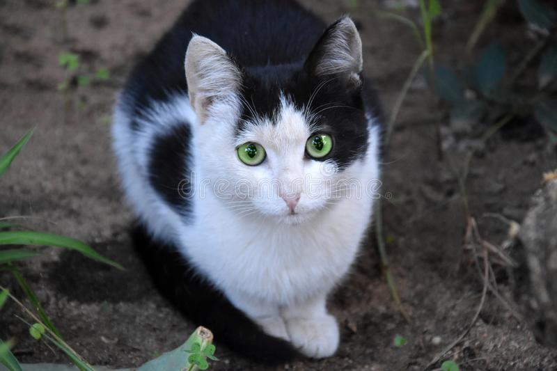 Frightened little black and white cat royalty free stock images