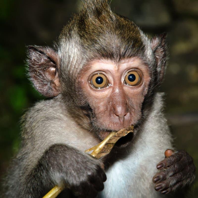 Frightened monkey. Something frightened little monkey Bali stock photos