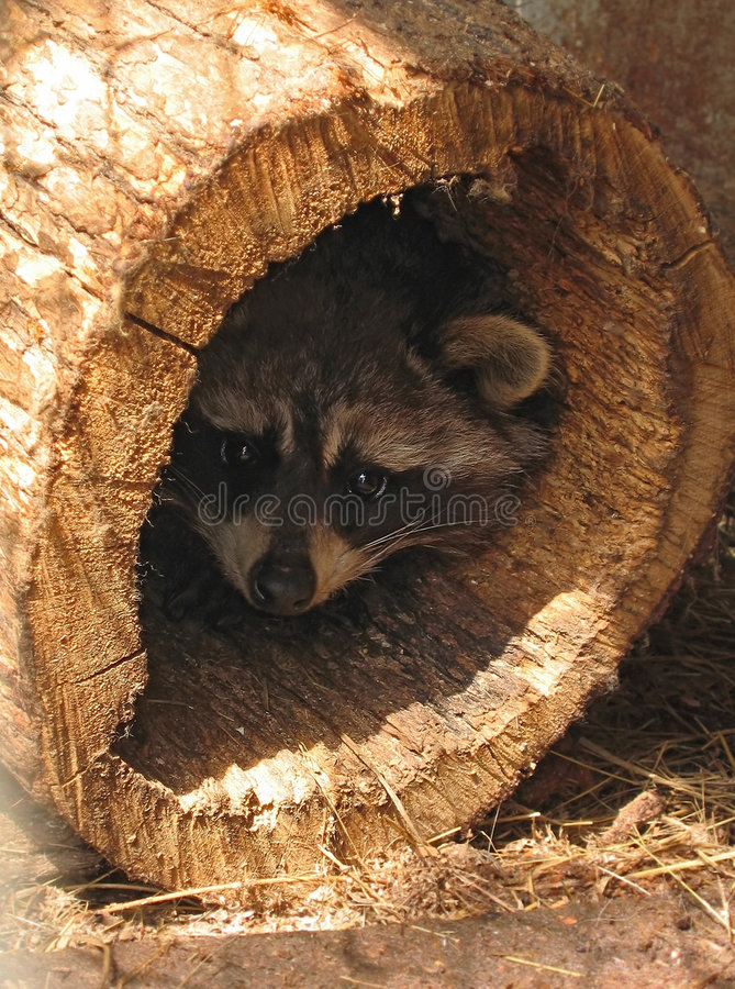 Frightened raccoon stock image