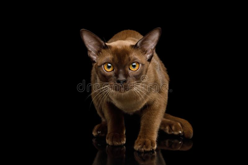 Brown burma cat isolated on black background. Frightened Sable Burma Cat Looking in Camera with fear, isolated on black background, front view royalty free stock images