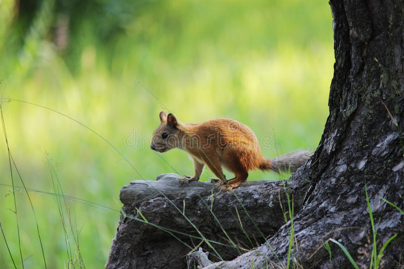 Frightened Teen squirrel in wild forest stop stand on rhizome of pine. Frightened Teen squirrel in wild forest stop stand on rhizome of pine royalty free stock photography