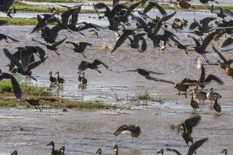 Frightened Waterbirds stock photo