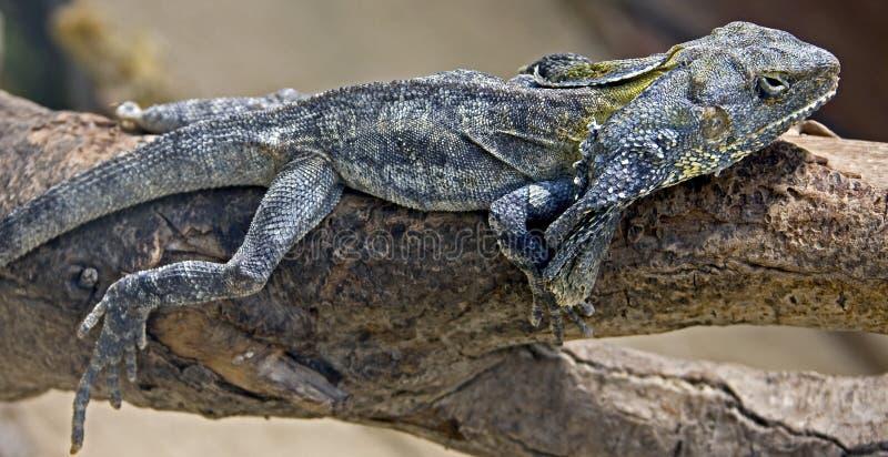 Frill-necked lizard 1 stock photos