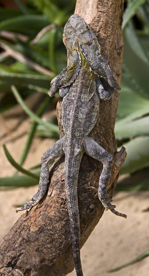Free Frill-necked Lizard 2 Stock Photos - 10243463