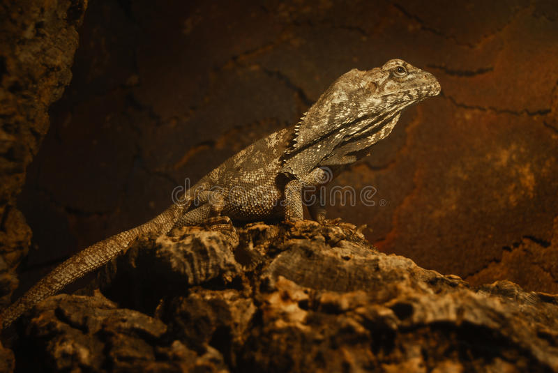Download Frill-necked Lizard stock photo. Image of tasmania, frilled - 22579406