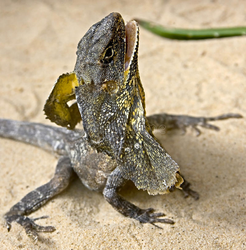 Free Frill-necked Lizard 4 Royalty Free Stock Photos - 13765608