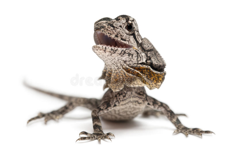 Download Frill-necked Lizard Also Known Stock Photo - Image: 22173980