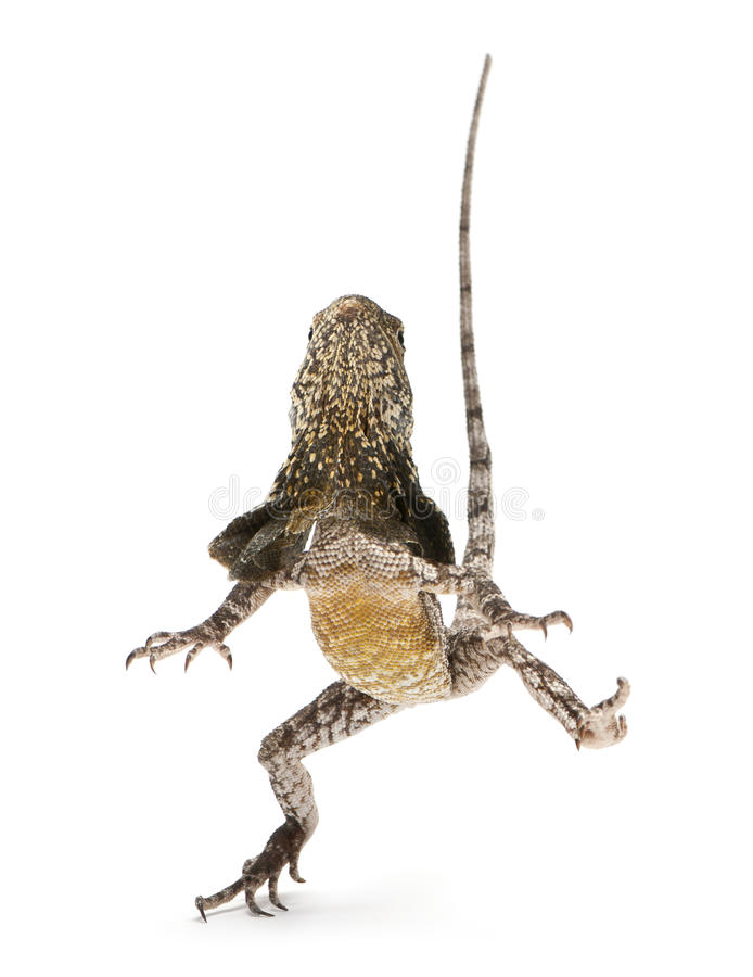 Frill-necked Lizard, Also Known As The Frilled Royalty Free Stock Photo