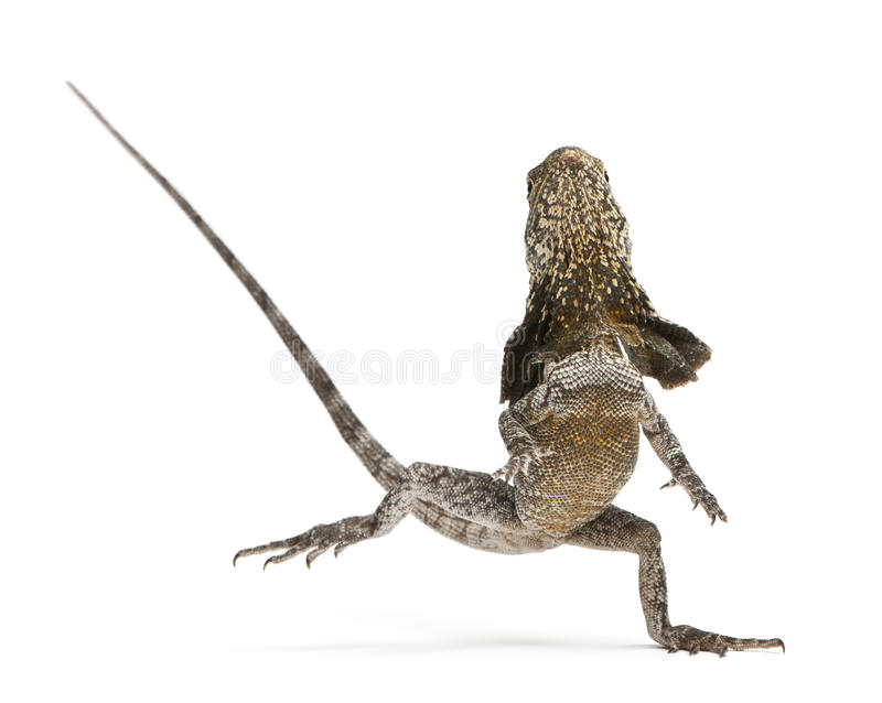 Frill-necked lizard, also known as the frilled. Lizard, Chlamydosaurus kingii, in front of white background royalty free stock photos