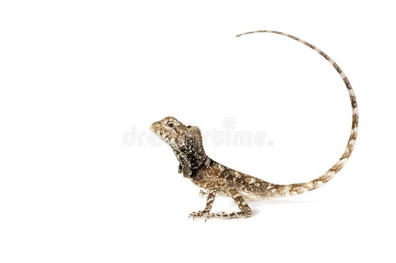 Frilled Dragon - Chlamydosaurus kingii royalty free stock images