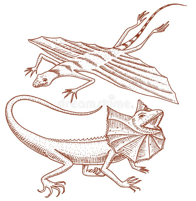 Frilled-necked lizard, flying dragon or agama in Australia. wild animals in nature. vector illustration for book or pet. Store, zoo. engraved hand drawn stock illustration
