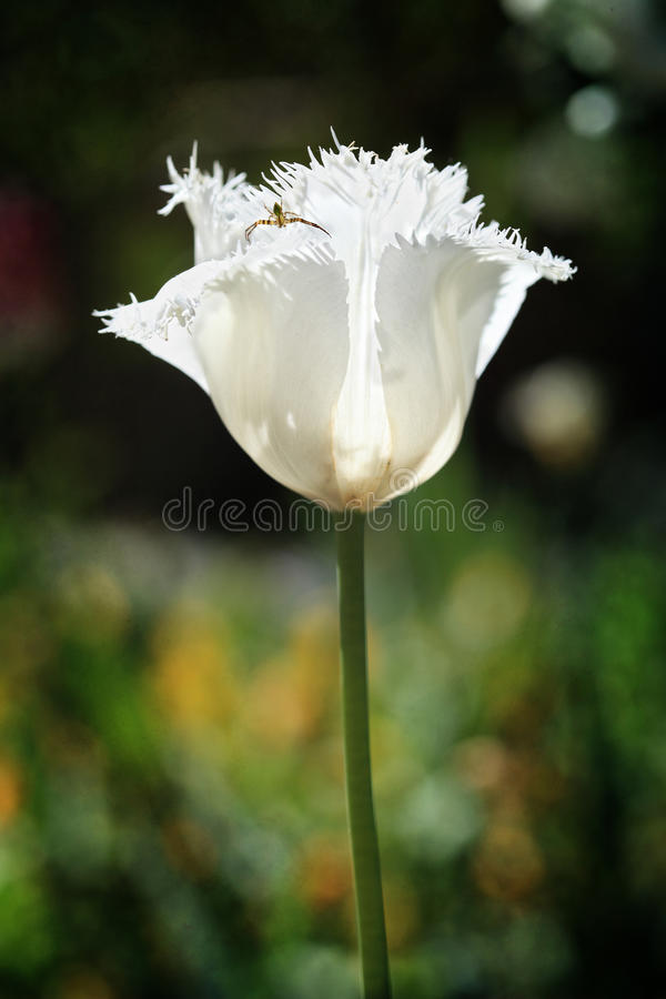 Free Frilled White Parrot Tulip Flower And Pretty Insec Royalty Free Stock Images - 33670099